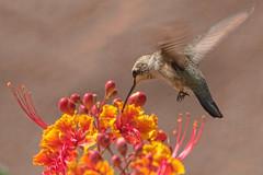 Hummingbird (Kukui Photography) Tags: bird hummingbird flower tucson arizona nature