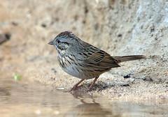Lincoln's Sparrow (Ed Sivon) Tags: america canon nature lasvegas wildlife western wild water southwest desert clarkcounty vegas flickr bird henderson nevada preserve