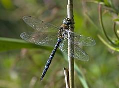 Migrant Hawker 3 17 Sept 19 (Tim Harris1) Tags: nikond7100 nikkor80400afs sculthorpemoor norfolk dragonfly migranthawker