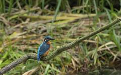 Ijsvogel / Alcedinidae (m.ritmeester) Tags: ngc naturelovers natuur nederland vaassen gelderland groen oranje geel bruin blauw ijsvogel wit water tak