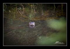 Wait! What! (the_coprolite) Tags: riverotter coquitlam bc britishcolumbia minnekhadaregionalpark pittriver canada nikon d750 sigma 150600mm