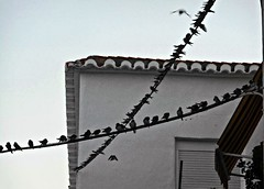 Birds on the wire (BrooksieC) Tags: birds swallows migration nature southerneurope