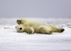 Polar Bear Cub (Tomingramphotography.com) Tags: polar bear cub arctic alaska kaktovik mammual wild wildlife nature tomingramphotography nikon d5