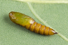 88138 (NakaRB) Tags: 2018 pupa insecta lepidoptera tortricidae