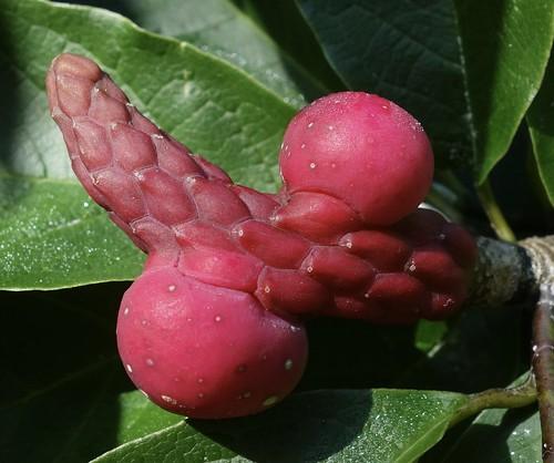 Magnolia zenii 549-2009-A