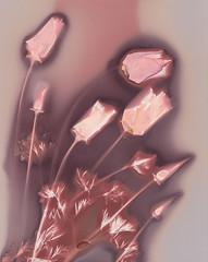 For Mama (julesnene) Tags: california californiapoppies eschscholziacalifornica flower formama happybirthday ilfordmultigraderccooltone juliasumangil mama sunprint alternativephotography backyard flora flowers julesnene lumen lumenart lumenprint photogram