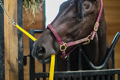 I Don't Think You're Suppose to Have That!    Explored September 18, 2019 (Sandra Mahle) Tags: horse racehorse animal equine ngysa ngysaex explore canonphotography canon