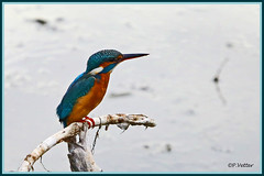 Martin-Pêcheur 190918-04-P (paul.vetter) Tags: oiseau ornithologie ornithology faune animal bird martinpêcheur alcedoatthis eisvogel kingfisher