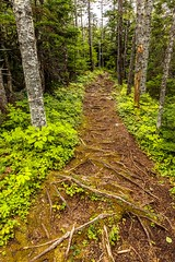 Watch Your Step (Karen_Chappell) Tags: trail path woods forest trees brown green evergreen nature nfld newfoundland eastcoast eastcoasttrail canada canonef24105mmf4lisusm atlanticcanada avalonpeninsula outdoors roots plants blackhead landscape scenery scenic hiking hike