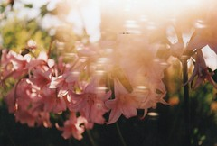 Flares (~ Fijke Mogen ~) Tags: flowers flower flores flor flowerphotography light flares sunnyday sunlight nature naturephotography naturaleza natural analogphotography analogue fotografíaanalógica film filmphotography 35mmfilm fujifilm