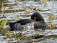 """Keeping an eye on you"" (Pendlelives) Tags: yellow eye asleep sleeping tufted duck weeds pond reservoir foulridge upper colne nature wildlife countryside bird birds ornithology pendle pendlelives nikon p1000 clarity vibrant vibrance background animals colours colour color feathers uk british species"