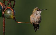 Hanging Out (TJN19) Tags: garden hummingbird hummingbirds bird birds republicwa