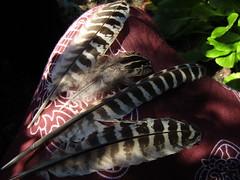 IMG_7080 todays feathers (belight7) Tags: found bird pheasant stoke poges memorial garden bucks uk england