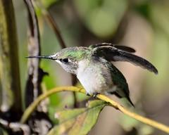 Getting antsy... (msembeck) Tags: hummingbird rubythroated d7000 nikon mybackyard