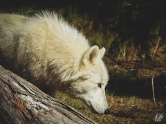 ARCTIC WOLF (eliewolfphotography) Tags: wildlife wildlifephotographer wildlifephotography wolf wolves animals florida nature naturelovers nikon naturephotography arcticwolf