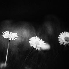 3448 (Elke Kulhawy) Tags: macro makro flower flowers blackandwhite bnw bw bwphotographie bnwbw monochrome monochromes art abstract dark dunkel grain grainy gänseblümchen daisy