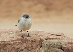 Life Bird: Rufous-Naped Ground-Tyrant (Muscisaxicola rufivertex) (Ruby 2417) Tags: life lifer rare rarity groundtyrant bird wildlife nature chile taito geysers parking atacama andes mountains mountain
