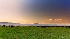 What? Buffalo's In A Plane? No, Buffalo's In A Plain! (Alfred Grupstra) Tags: nature landscape outdoors sunset sky mountain meadow scenics ruralscene animal grass tree farm beautyinnature agriculture summer pasture hill field grazing buffalo