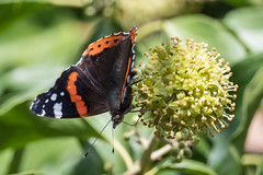Red admiral (pstani) Tags: england essex europe greatbritain walton waltononthenaze woodberryway animal butterfly fauna flora insect ivy ivyflowers plant redadmiral
