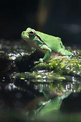 Rainette verte (olivier.ghettem) Tags: zoodeparis zoodevincennes zoo parczoologiquedeparis paris europe rainette rainetteverte amphibien hylaarborea europeantreefrog frog grenouille