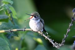 PAS_6349 (peterstratmoen) Tags: hummingbird rubythroatedhummingbird longfellowgardens minneapolis