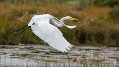 (c)WMH_2019_09_17 Great Egret in Flight (WesleyHowie) Tags: belchersmarsh birds canada egrets greategret halifax location municipalpark novascotia wildlife
