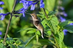 PAS_5626 (peterstratmoen) Tags: hummingbird rubythroatedhummingbird longfellowgardens minneapolis