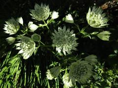 IMG_7063 (belight7) Tags: white flowers stokes poges memorial garden uk england bucks astrantiamajor greatmasterwort stokepoges