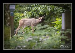 One of the two deer at Minnekhada (the_coprolite) Tags: blacktaildeer coquitlam bc britishcolumbia minnekhadaregionalpark pittriver canada nikon d750 sigma 150600mm