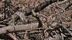 Juvenile Night Herons, Payson Park Pond (Bill Bunn) Tags: yellowcrownednightheron blackcrownednightheron portland maine