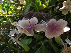 IMG_7030 (belight7) Tags: hydrangea flowers pink stokes poges memorial garden uk england bucks stokepoges