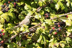 Eastern Olivaceous Warbler (ejwwest) Tags: