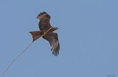 NIBBIO   ---   KITE (Ezio Donati is ) Tags: uccelli birds animali animals natura nature cielo sky trasporto transport westafrica costadavorio lagunebassam