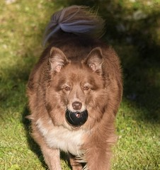 Pretty Little Miss! (☼☼ Jo Zimny Photos☼☼) Tags: ddc easytospot shizandra pretty redbordercolliemix female canine healthy happy ball black kong playinginthebackyard