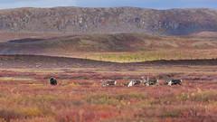 Arctic Ungulates-1278 (Mathieu Dumond) Tags: arctic nunavut kugluktuk fall autumn september colors wildlife nature landscape ungulates muskox caribou bulls canon 5dmkiii mathieudumond umingmakproductions animals outdoor