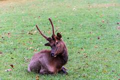 Mugging for the Camera (Jim Liestman) Tags: fotofest mountains elk cattaloochee greatsmokymountainsnationalpark