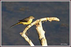 Bergeronnette 190918-01-P (paul.vetter) Tags: oiseau ornithologie ornithology faune animal bird bergeronnettedesruisseaux motacillacinerea greywagtail gebirgsstelze lavanderacascadeña alvéolacinzenta