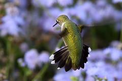 PAS_6201 (peterstratmoen) Tags: hummingbird rubythroatedhummingbird longfellowgardens minneapolis