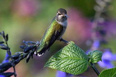 PAS_5972 (peterstratmoen) Tags: hummingbird rubythroatedhummingbird longfellowgardens minneapolis