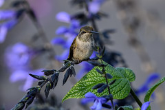 PAS_5939 (peterstratmoen) Tags: hummingbird rubythroatedhummingbird longfellowgardens minneapolis