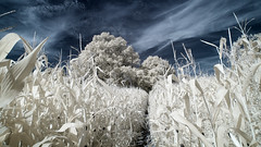 Corn Field (david.hogan7) Tags: landscape fine art colour infrared canon 750d converted ir 720 atmospheric summer clouds trees corn field crop path south downs national park 1018mm wide angle farm farming sunshine towering efs