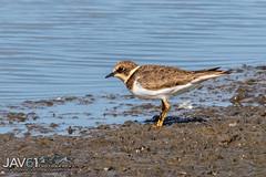 Little ringed plover (Charadrius dubius)-3207 (George Vittman) Tags: water birds marsh nature wildlife wildlifephotography nikonpassion jav61photography jav61