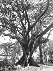 Old tree (Thierry GASSELIN) Tags: arbre tree nb bw monochrome