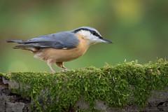 Nuthatch (Matt Hazleton) Tags: nuthatch sittaeuropaea woodland wood canon canoneos7dmk2 canon100400mm eos 7dmk2 100400mm matthazleton matthazphoto bird animal nature outdoor wildlife northamptonshire