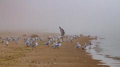 Foggy Beach (Lester Public Library) Tags: neshotahbeach neshotah neshotahpark beach beaches gull gulls water sand bird birds lakemichigan lake tworiverswisconsin tworivers wisconsin fog mist summer lesterpubliclibrarytworiverswisconsin readdiscoverconnectenrich wisconsinlibraries