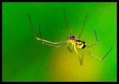 Neriene radiata (MarekOnski) Tags: neriene radiata baldachinspinne spinne linyphiidae araneae spider wald wildlife natur nature nikond7200 naturfotografie tamron 90mm arachnida arachnologie