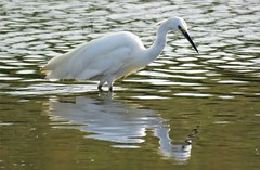 Little egret (marksargeant57) Tags: canonpowershotsx60hs wader bird wadingbird framptonmarsh water rspbframptonmarsh littleegret
