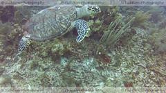 Hanging with Turtles (ficktionphotography) Tags: greenseaturtle turtle seaturtle naturephotography wildanimals wildanimalphotography belize scubadiving scuba explore adventure