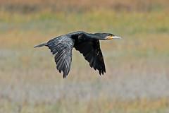 cormorant (DODO 1959) Tags: wildlife cormorant animal avian fauna birds flight nature outdoor seabird canon 100400mmmk2 7dmk2 carmarthenshire kidwellyquay wales