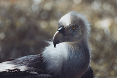 Vulture (michel1276) Tags: vulture griffon griffonvulture geier gänsegeier vogel birds bird birdofprey animal animals zoo zooanimals duisburg tier tiere
